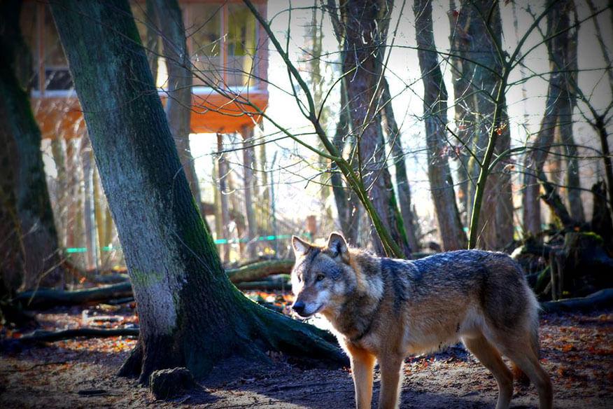Tree Inn Wolf